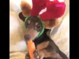 Собака с удовольствием грызет морковку