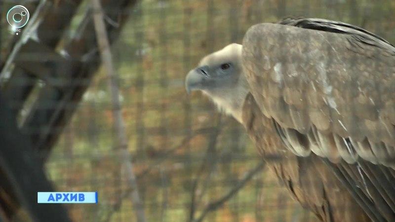 Чёрные грифы и белоплечие орланы готовятся к появлению потомства