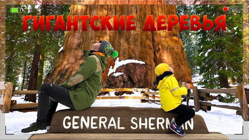 МЫ маленькие Гномы ГИГАНТСКИЕ ДЕРЕВЬЯ США Национальный Парк Sequoia и Yosemite