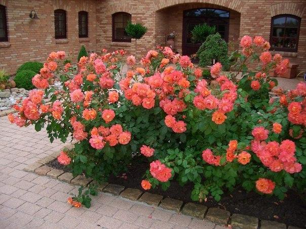 парковые розы чаще всего к парковым розам относят окультуренные шиповники. эти великолепные и мощные кусты на протяжении долгого времени привлекают внимание садоводов своим невероятно пышным