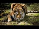 В поисках людоеда Голодные тигры \ Nat Geo WILD HD