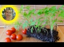 🍅ТОМАТЫ БЕЗ ПИКИРОВКИ И БЕЗ ПОЛИВА !!🍅 How to grow seedlings of tomatoes pat 2