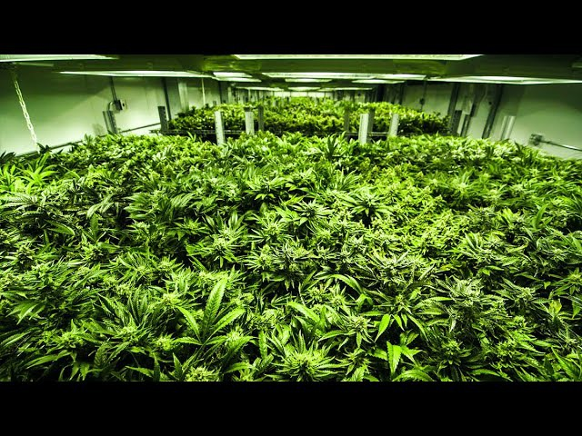 Californa's recreational cannabis legalisation | The Economist