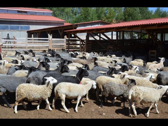 Овцематки и ярки. Фермерское хозяйство Капри