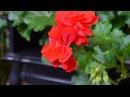 Пеларгония Как черенковать растение Это довольно просто