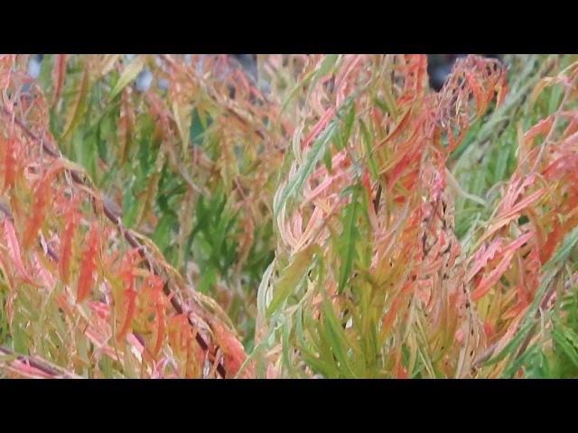 Краски осени. Уксусное дерево. Сумах оленерогий. / Colors of autumn. Acetic tree. Sumah deer horn.