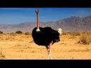 Животные Африки Страусы Документальный фильм National Geographic