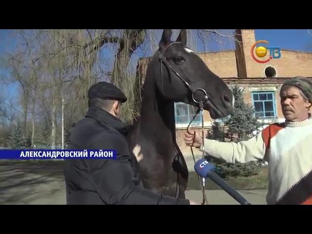 Подаренный Владимиром Путиным королю Бахрейна жеребец родом из Ставропольского края