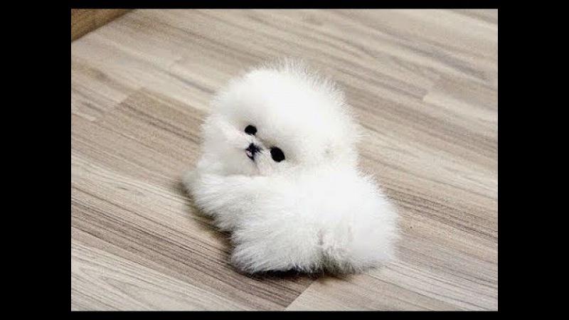 Cute Pomeranian Puppies Videos Compilation 7 | Funniest Pomeranian Videos 2017