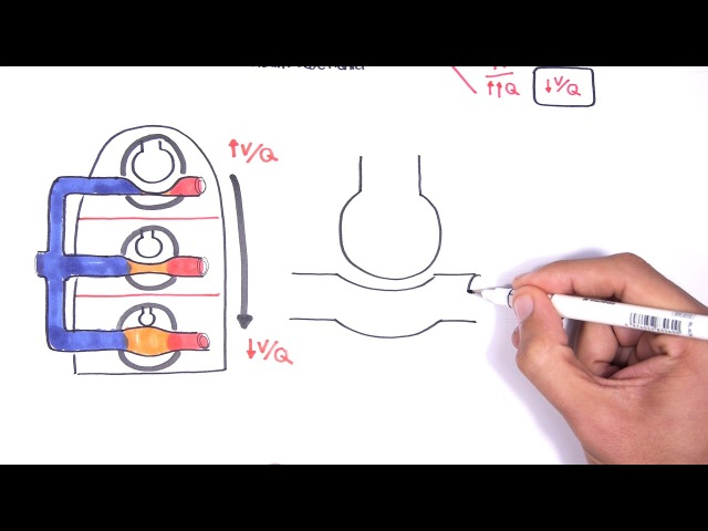 Pulmonology - Ventilation and Perfusion (V:Q Ratio) Physiology