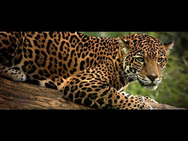 Jaguar / Ягуар / Panthera onca