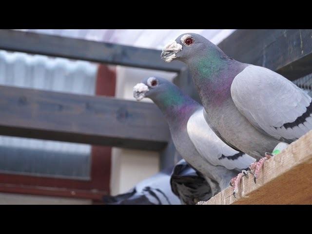 My Dragoon Pigeons - 26.12.2017, Czechia