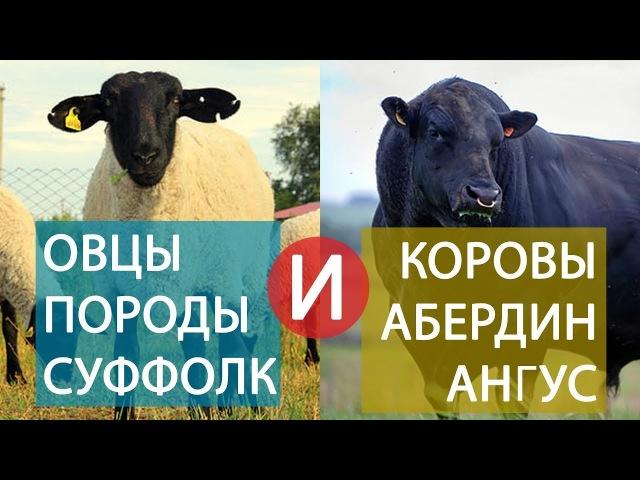 Овцы породы суффолк и коровы абердин ангус - элита скотоводства.