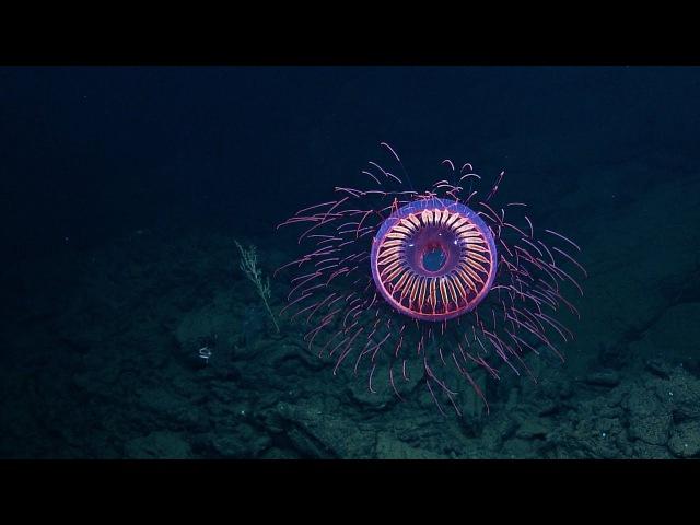 A Burst of Deep Sea Fireworks Halitrephes Jelly Nautilus Live