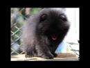 Черный померанец