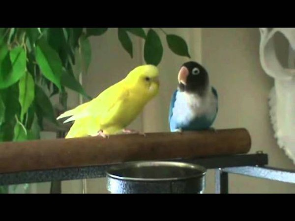 Lovebird and Parakeet Chatting 06212011 смотреть онлайн без регистрации