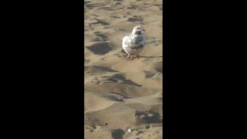 Голубь на пляжу 2017 Самара Моя Perescope Трансляция