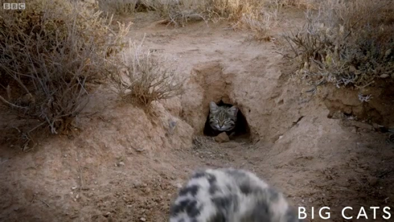 The deadliest cat on Earth, Episode 2, Series 1, Big Cats - BBC One