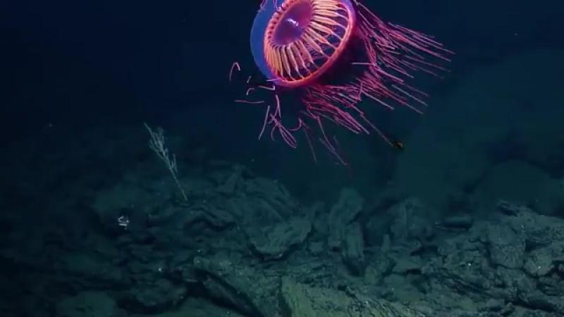 На километровой глубине в Тихом океане исследователи обнаружили потрясающую медузу - фейерверк.
