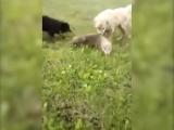 Алабай защитил стадо овец от волка. (18+)