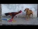 Не берите собаку на петушиные бои!
