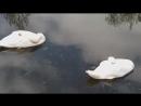 Танец белых лебедей.