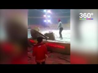 Тигр и лев напали на лошадь
