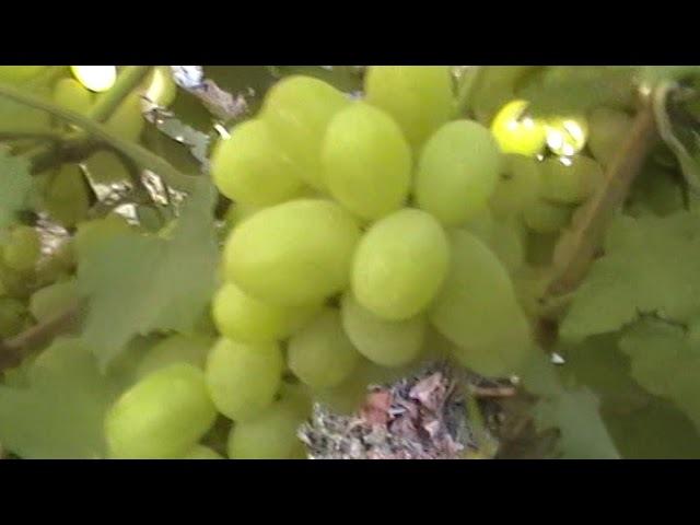 Сорт винограда Галахад - сезон 2017