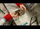 Осмотр мохноногого сыча Чучундрия ветеринаром-орнитологом Марией Маркиной