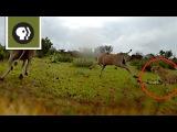 'Cheetah Cam' Captures Chase Through the Bush