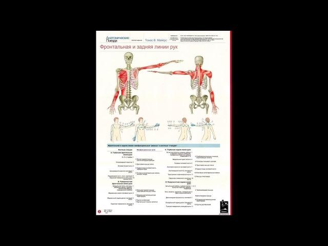 Анатомические поезда Т.Маерса - Миофасциальные линии руки