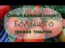 Самый важный секрет большого урожая томатов