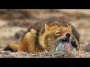 Шакал вылизывает сметану Golden jackal and Sour cream glass Absheron National Park
