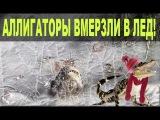 Аллигаторы вмерзли в лед в Северной Каролине (На русском)! Почему они живы