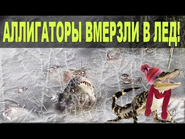 Аллигаторы вмерзли в лед в Северной Каролине (На русском)! Почему они живы?