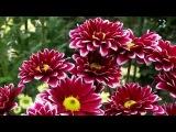 В Никитском ботаническом саду открылся традиционный бал хризантем
