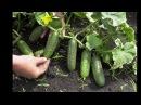 5 секретов выращивания огурцов