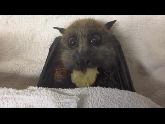 Летучая мышь кушает