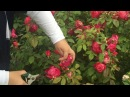 английская парковая роза Бенджамин Бриттен
