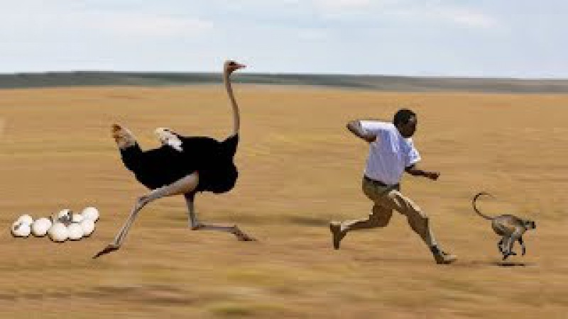Amazing Mother Ostrich Protect Her Eggs From Man And Monkey Steals