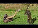 Vua Khỉ Đánh tay đôi Rắn Hổ Mang - Khoảng khắc hiếm gặp thế giới động vật