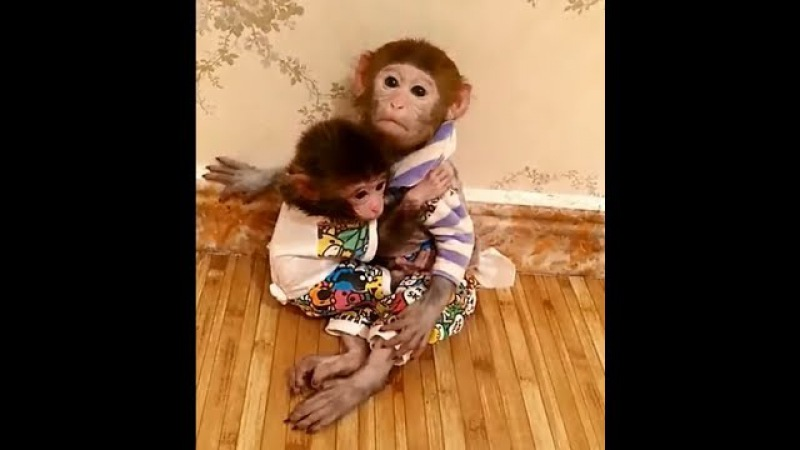 Two pocket monkeys love each other, the little one always wants to hug.