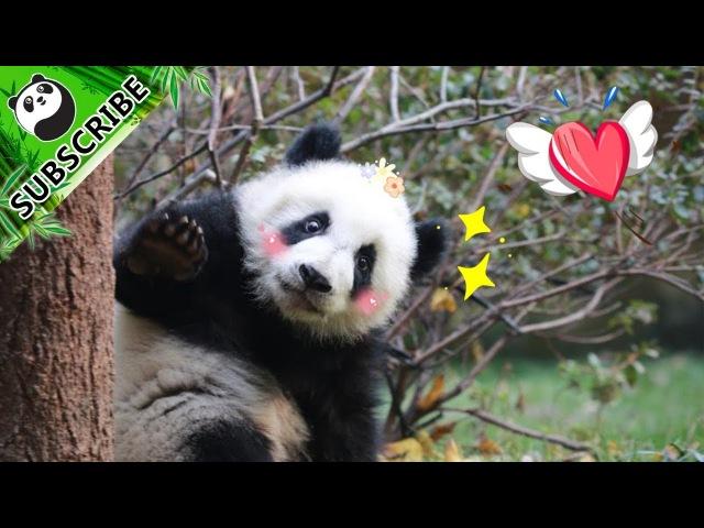 Panda Theme Ab Ripper Schwarzenegger · Panda iPanda