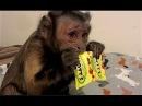Capuchin Monkey EXCITED For Motts Fruit Medleys