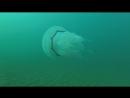 Медузы Черного моря. Подводный Крым