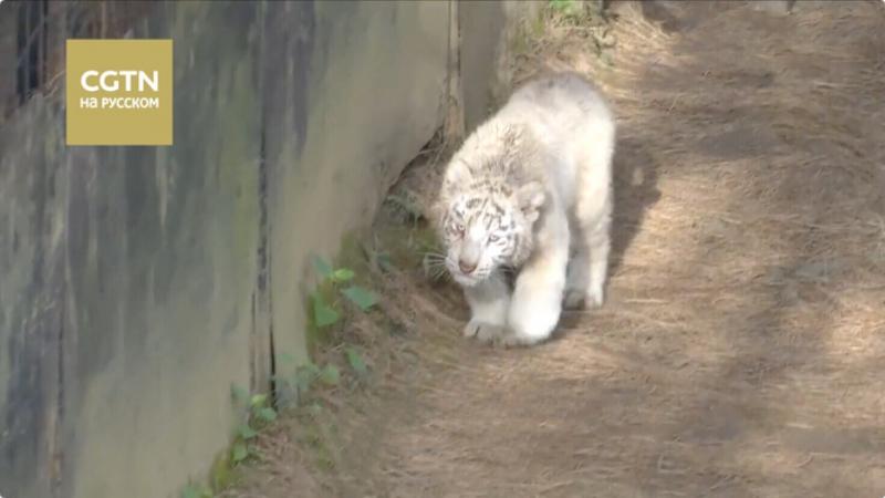 Редкие шестерняшки белого тигра впервые появились перед публикой в зоопарке Куньмина