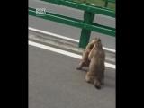 В Китае два сурка устроили разборки прямо на дороге