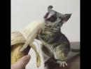 лемур ест банан