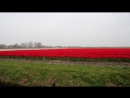 Кенкхоф тюльпаны