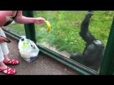 Умный шимпанзе хочет пить